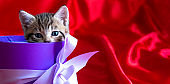 Banner with place for text. Striped kitten peeks out of the gift box on red background. Birthday and holiday
