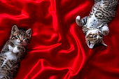two adorable smiling striped kittens lying on back sleeping over red textile. Cute pets cats, valentines and Christmas card. Copyspace