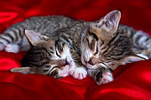 Two adorable striped kitten lying sleeping on red blanket. Cute pets cats, valentines and Christmas card