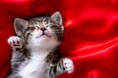 adorable smiling striped kitten lying on back sleeping over red. Copyspace. Cute pets cats, valentines and Christmas card