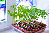 Young tomato seedlings in pots on white window. How to growing food at home on windowsill. sprouts green plant and home gardening