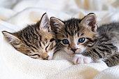 Two Small striped kittens sleeping on bed white light blanket. Concept of domestic adorable pets