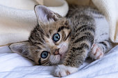 Cute striped kitten lying white blanket on bed. Looking at camera. Concept of adorable little pets