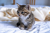 Small striped kitten sitting on bed white light blanket. Concept of domestic adorable pets