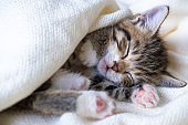 Small striped kitten sleeps covered with white light blanket. Concept of adorable pets