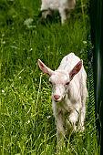 Small domestic goat grazing