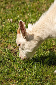 Small domestic goat on green field