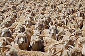 Angora goats crammed in a paddock on a rural South African farm