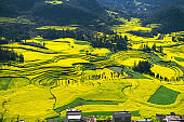 Rapeseed flowers at Snail farm Luositian Field in Luoping County, China