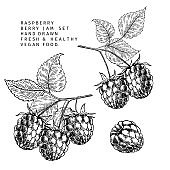 Hand drawn raspberry branch, leaf and berry. Engraved vector illustration. Bramble agriculture plant. Summer harvest, jam or mamalade vegan ingredient. Menu, package, cosmetic and food design.