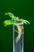 Green plant in test tube isolated on a green background. Basil plant in a glass tube.