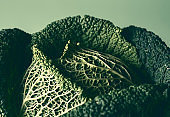 Green cabbage close-up. Healthy food, detox food. Freshly harvested cabbage
