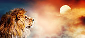 African lion and sunset in Africa. Savannah landscape and king of animals. Warm sun light and dramatic red cloudy sky. Proud majestic fantasy leo in savanna looking forward.
