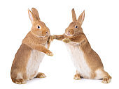 Two bunnies stand on their hind legs isolated on a white