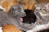 homeless little fluffy gray kitten with blue eyes
