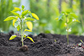 Pepper seedling.