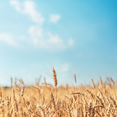 golden color agriculture field and blue sky. soft focus