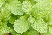 Close-up of fresh mint leaf on blur background