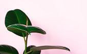 Ficus on pink background with copy space and selective focus. Close-up green leaf plant. Trendy minimalistick lifestyle concept