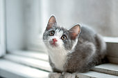 Little funny gray kitten with  white nose and long mustache