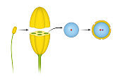 Structure of stamens