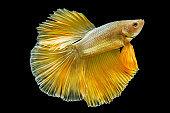 Siamese fighting fish betta splendens (Halfmoon gold dragon betta )