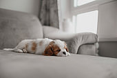 cavalier king charles spaniel puppy sleeping on a bed indoors