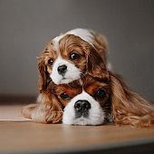 cavalier king charles spaniel puppy posing on top of his mother head