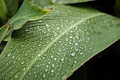 Dew on a leaf in the morning. Natural, large, round drops of water. Water drop sparkles in the sunlight. Shadows.