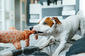 Funny jack russell terrier pulling a tug toy.