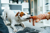 A jack russell terrier pulling on a rope toy.