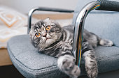 Cute little cat lies on the  gray chair with dreaming expression on the face.