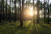 Beautiful sunset in the forest. The sun breaks through the tree trunks.