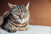 Funny portrait arrogant short-haired domestic tabby cat relaxing at home. Little kitten lovely member of family playing indoor. Pet care health and animal concept