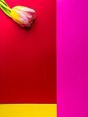 one tulip on multi color background. Minimalism
