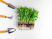 Sprouts of peas microgreen with soil, gardening accessories