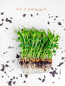 Sprouts of peas microgreen with soil and wooden text