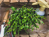 Sprouts of peas microgreen in wooden box