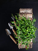 Sprouts of peas microgreen on wooden box with garden accessories