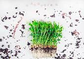 Sprouts of peas microgreen with soil and worms