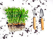 Sprouts of peas microgreen with soil and worms, gardening tools