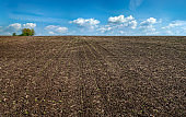 field of sugar beet in spring, young sprouts and sky