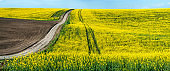 Big panoramic view with dirt road through fields of oilseed rape in bloom