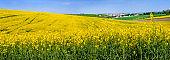 Big panoramic view fields of oilseed rape in bloom