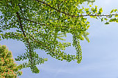 Branches of the flowering Ginkgo biloba against of the sky