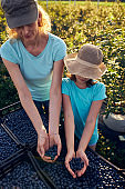 Modern family picking blueberries on a organic farm - family business concept.