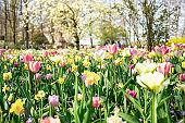 Flower bed of various spring flowers. Blooming flowers in Keukenhof park in Netherlands, Europe. Sunny day