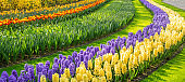 Flower bed of yellow and purple beautiful hyacinths. Blooming flowers in Keukenhof park in Netherlands, Europe