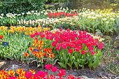 Flower bed of beautiful tulips. Blooming flowers in Keukenhof park in Netherlands, Europe