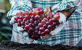 Farmer with eco grapes in Autumn. Agricultural on harvest cornucopia in fall season and thanksgiving day.